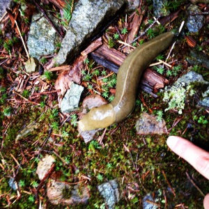 Huge banana slug
